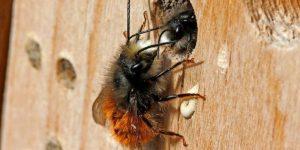 wildbiene-an-nistmoeglichkeit